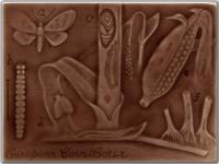 European Corn Borer - Claret